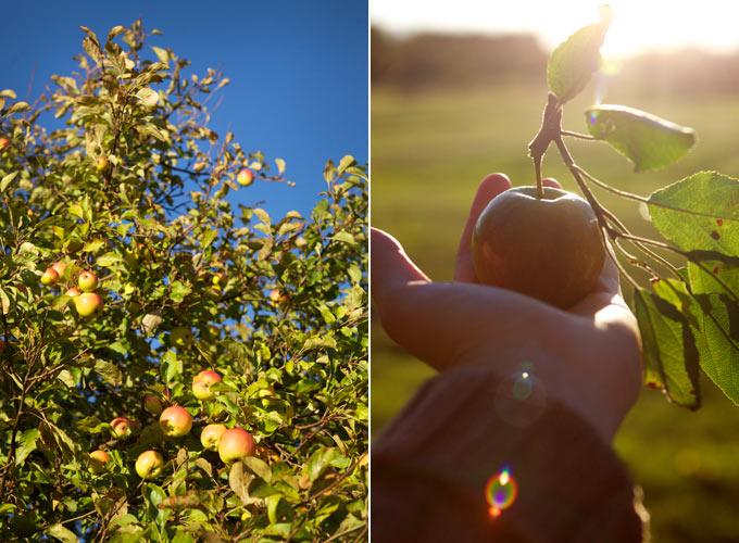 applesorbet4